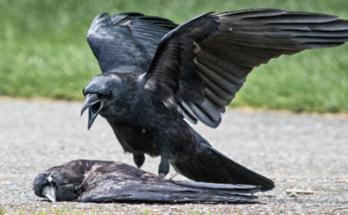 Not yet confirmed bird flu in Chhattisgarh: sample report of abnormal death of crows in Balod negative